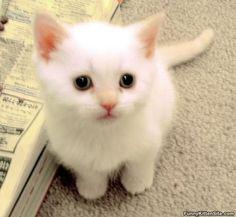Awwwwwww a wee little snowball kitty. Awwww he's too much!