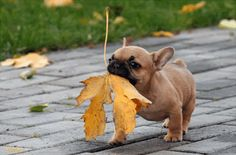 The leaf is almost bigger than this cute dog...