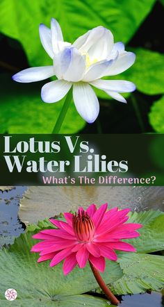 In the world of flowering aquatic plants, nothing beats a water lily or a lotus flower. You probably are already aware of the similarities between water lilies and lotus plants, so let's get down to the differences. #WaterLily #Lotus #FloweringPondPlants #Nelumbo #Nymphaea Water Garden Plants, Container Water Gardens, Pond Plants, Aquatic Plants, Container Plants, Light Blue Flowers, Yellow Flowers, Patio Pond, Lotus Plant
