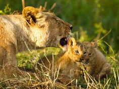 The Tigers and Lions: They are Parents too in the Maasai Mara! | Real Mentos