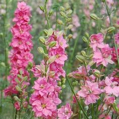 Enjoy these tall, Larkspur rose flowers that have double blooms and last in the garden and in the vase. Description from ebay.com. I searched for this on bing.com/images