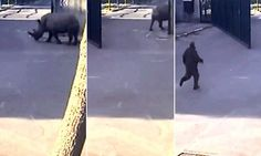 Caught on camera: Plucky rhino escapes safari park in Israel