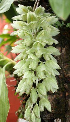 Catasetum calceolatum ~ Orchidee