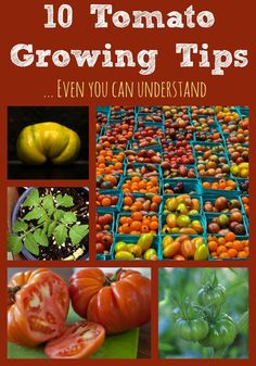 We know how tough it can be to read confusing tomato growing articles that you need a dictionary to get through. This one lays it out straight and simple with our top tips for great tomatoes.