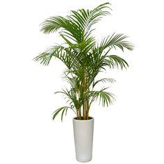 plantă areca