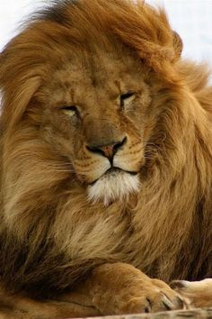 Lion cute animals adorable lion instagram animal pictures
