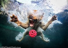 fantastic pics of dogs diving for balls