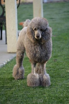 Coco the Standard Poodle