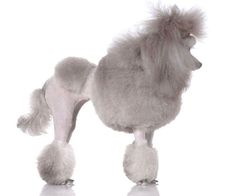 Poodle stylin it!  Click on this picture to find even more cute #Poodle images