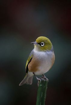 Photography Technique: Creative Blurs For Animal Photos & Create A Wildlife Panorama The Silvereye - Zosterops lateralis, is a small bird with a conspicuous ring of white feathers around the eye, and belong to a group of birds known as white-eyes. Small Birds, Little Birds, Colorful Birds, Pretty Birds, Love Birds, Beautiful Birds, Develop Pictures, Australian Birds, White Eyes