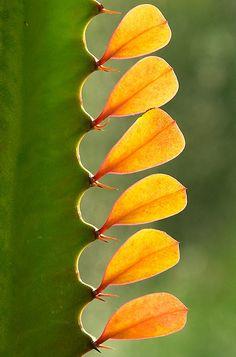 Euphorbia leaves ?