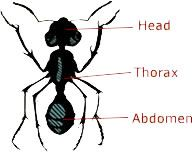 Parts of an Ant Worksheet | One Hundred Hungry Ants