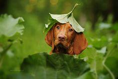 Vizsla puppy. By Kathrin Köntopp.