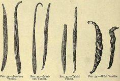 Fig. 51-54. Vanilla.