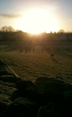 sheep grazing in morning sun in Staveley