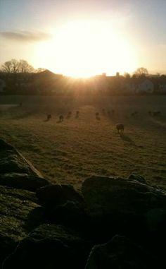 sheep grazing in morning sun in Staveley