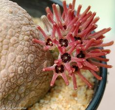 Pseudolithos cubiformis How to create a sea-creature succulent garden - Boldly colored. With the wonderful world of succulents, you can mimic an underwater garden   Colorful DIY succulents Drought Friendly Drought Tolerant California Garden #SymbolicHoldings