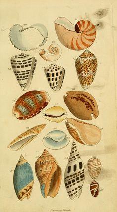 Repro 18th Century Natural History Print of Seashells #12