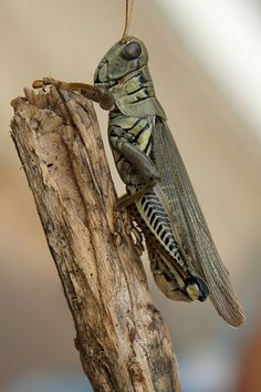 A grasshopper can leap 20 times the length of its own body - 23 Random Animal Facts That May Surprise You Reptiles, Amphibians, Insect Crafts, Insect Art, Types Of Insects, Bugs And Insects, Mantis Religiosa, Insect Photography, Levitation Photography