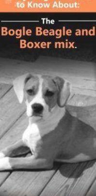 The Bogle Beagle and Boxer Mix: A Complete Guide | Doggie Designer Boxer Beagle Mix, Brindle Boxer, Boxer Puppies, Mountain Dogs, Bernese Mountain, Adoptable Beagle, Labrador Retriever Dog, Bull Terrier Dog