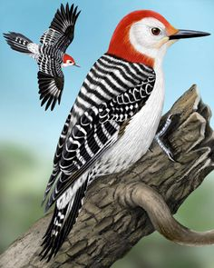 Red-bellied Woodpecker - Whatbird.com