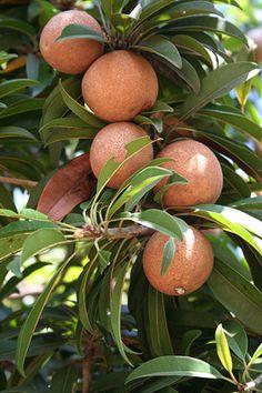 Nispero... una de las deliciosas frutas tropicales de Venezuela!!!