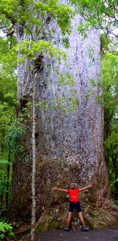 Tane Mahuta a Kauri tree - North Island, New Zealand Beautiful Islands, Beautiful World, Beautiful Places, New Zealand North, New Zealand Travel, Trees And Shrubs, Trees To Plant, Kauri Tree, Old Trees