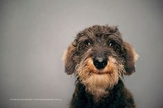 Henri is a Wirehaired Dachshund-Serenah Photography