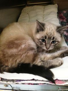 NEW JERSEY Mooncake is a gorgeous lynx point Siamese mix that is about 4 months old as of 2/14.  She is incredibly beautiful yet a bit shy so a home without small children would be best for her.  Mooncake came from an overcrowded city shelter nearby-please ask...