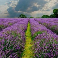 lavender flowers in french countryside Lavender Green, Lavender Fields, Lavender Flowers, Purple Flowers, Lavander, Beautiful Flowers, Beautiful Places, Flower Landscape, Landscape Design
