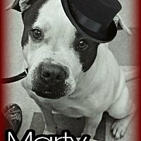 Wintersville, Ohio - Pit Bull Terrier. Meet MARTY (BOOG), a for adoption. https://www.adoptapet.com/pet/20624316-wintersville-ohio-pit-bull-terrier