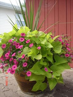 """I LOVE sweet potato vines and petunias. For several years now I have planted hanging baskets with sweet potato and wave petunias. The vine fills in when the flowers get a little ""leggy"""" Outdoor Plants, Outdoor Gardens, Patio Plants, Backyard Planters, Fall Planters, House Plants, Outdoor Spaces, Lawn And Garden, Garden Pots"