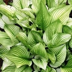 'Zebra Stripes' Hosta. Starts out with striped leaves, turning green by midsummer.  Lavender flowers.  30x12""