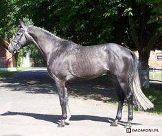 Wielkopolski - stallion Olivier