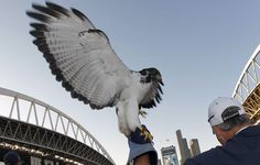 The spirit of the #Seahawks. Spread those wings and fly!