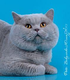 Lilac chubby cat британский лиловый кот