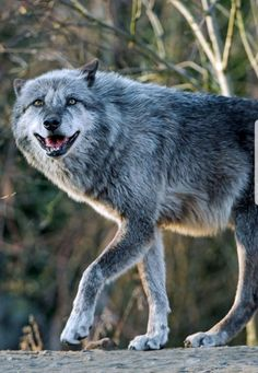 Wolf (by Tambako the Jaguar) Beautiful Wolves, Animals Beautiful, Cute Animals, Wolf Poses, Wolf World, Maned Wolf, Timberwolf, Wolf Husky, Wolf Spirit Animal