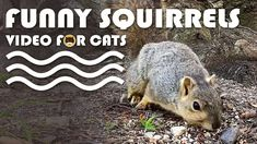 VIDEO FOR CATS TO WATCH: Funny Squirrels! More Videos for Cats: www.tvbini.com #catTV #TVforcats #tvbini #movieforcats #entertainmentforcats #catgames #videoforcats #cats #pets #videosforcats #catentertainment