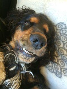 Smiling cocker