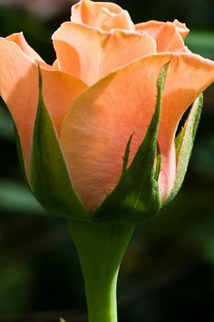 Peach - Send to your Peach Flowers, Orange Roses, Red Roses, Peach Rose, Beautiful Roses, Pretty Flowers, Sterling Roses, Advantages Of Solar Energy, Just Peachy