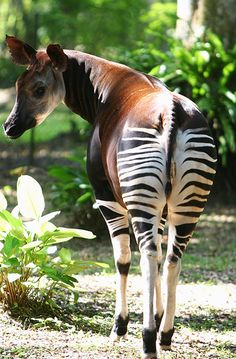 Okapi in Epulu, Congo by teresehart, via Flickr. Its closest relative is the giraffe, not the zebra as it may seem :)