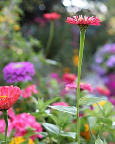 Love zinnias, they come in so many colors and are great for cut arrangements.