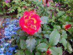 Ruusut aamukasteessa