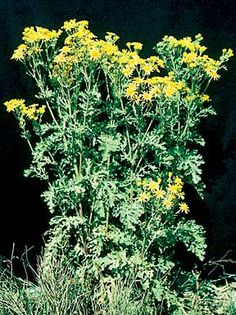 Weeds i have seen. Tansy Ragwort - Field Guide to Noxious and Other Selected Weeds of British Columbia