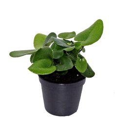 Heart Fern Container Gardening, Flower Gardening, Indoor Gardening, Dish Garden, Terrarium Plants, Black Spot, Ferns, Houseplants, Succulents