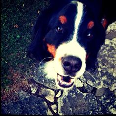 Rocky (Bernese Mountain dog)