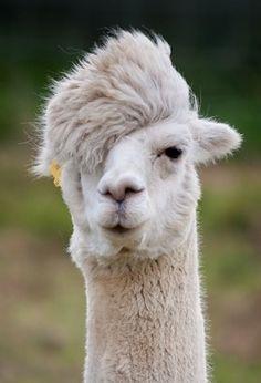 Hipster Alpaca- Dude!