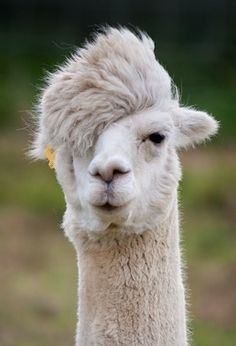 "Hipster Alpaca- Dude!  needs to show ""the donald"" how it's done RIGHT!!! eat your heart out, trump!!!"