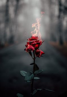 wallpaper rose Rose on fire Rose on fire Flower Phone Wallpaper, Iphone Background Wallpaper, Rose Wallpaper, Wallpaper Samsung, Galaxy Wallpaper, Iphone Wallpaper Fire, Free Wallpaper For Phone, Wallpaper Quotes, Quotes Lockscreen
