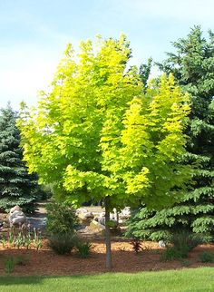 Princeton Gold Maple Tree -- grows 30' tall. Vibrant golden yellow foliage in spring that fades slightly in summer and turns gold again in fall.
